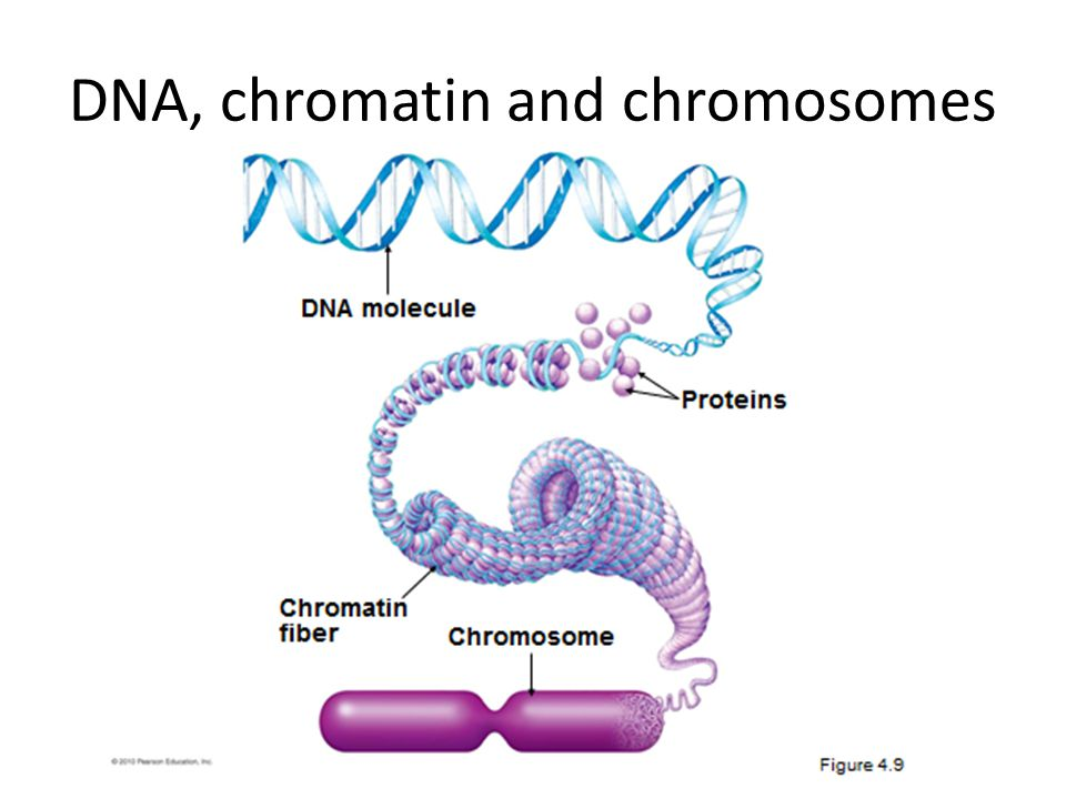 DNA, chromatin and chromosomes