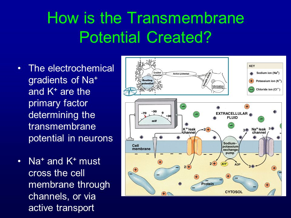 How is the Transmembrane Potential Created