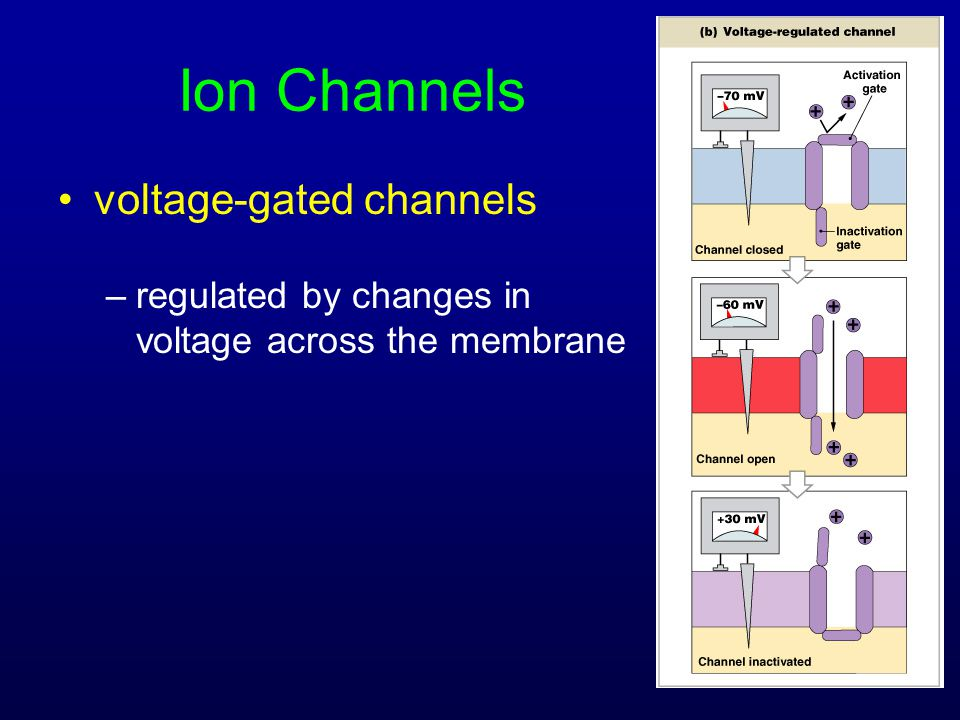 Ion Channels voltage-gated channels