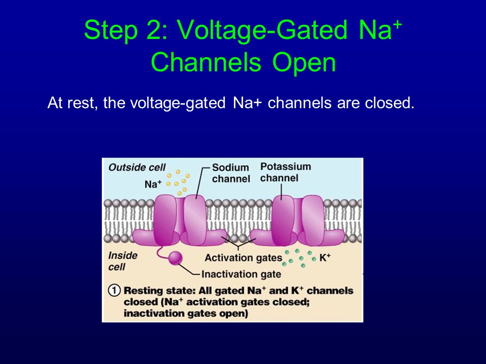 Step 2: Voltage-Gated Na+ Channels Open