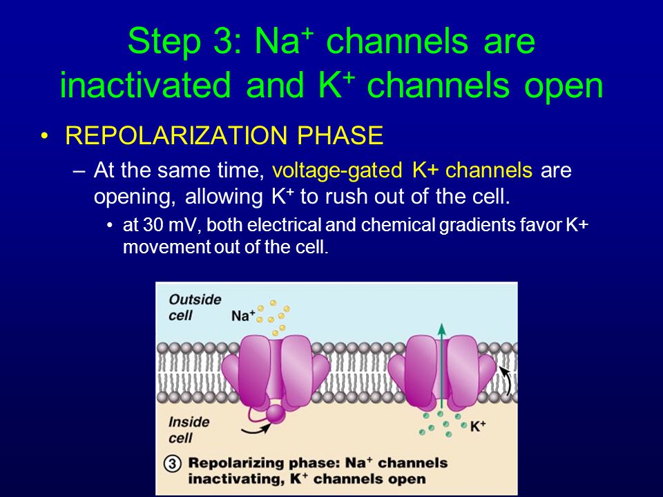 Step 3: Na+ channels are inactivated and K+ channels open