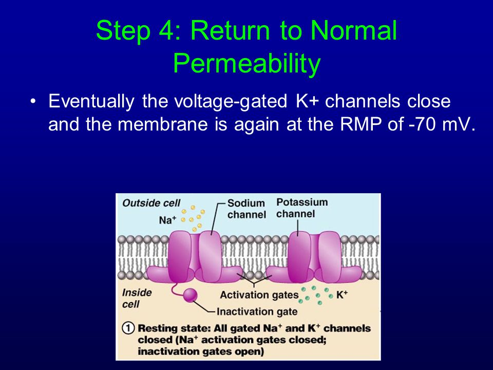 Step 4: Return to Normal Permeability