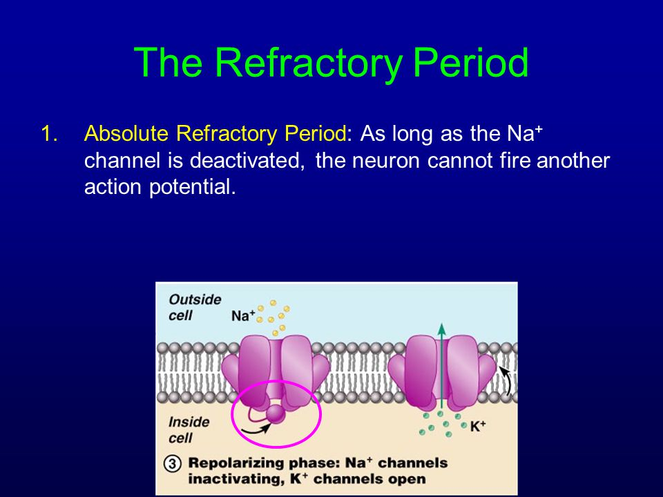 The Refractory Period Absolute Refractory Period: As long as the Na+ channel is deactivated, the neuron cannot fire another action potential.