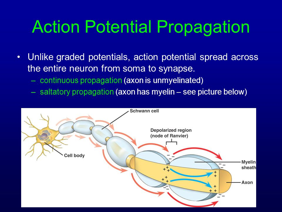 Action Potential Propagation