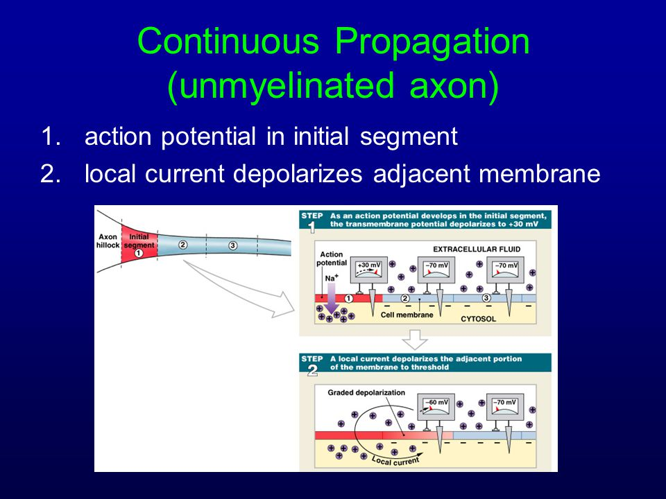 Continuous Propagation (unmyelinated axon)