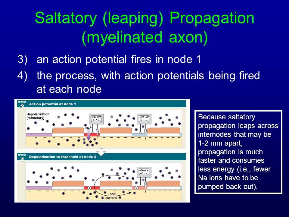 Saltatory (leaping) Propagation (myelinated axon)