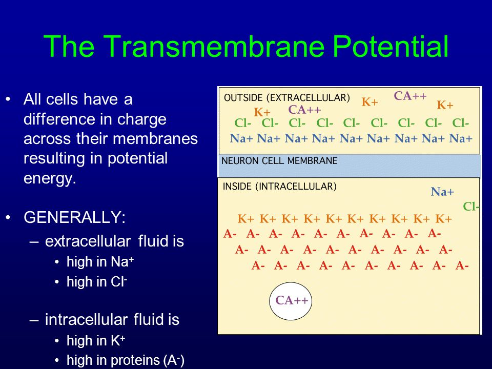 The Transmembrane Potential