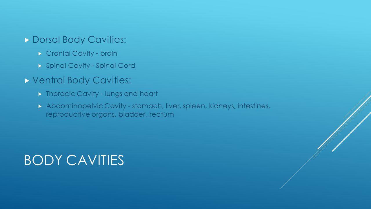 Body Cavities Dorsal Body Cavities: Ventral Body Cavities: