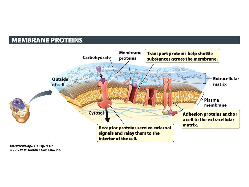 Figure 6.7 The Many Functions of Membrane Proteins