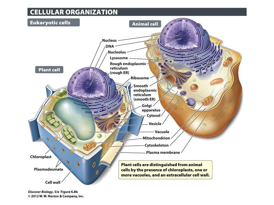 Figure 6.8b Prokaryotic and Eukaryotic Cells Compared