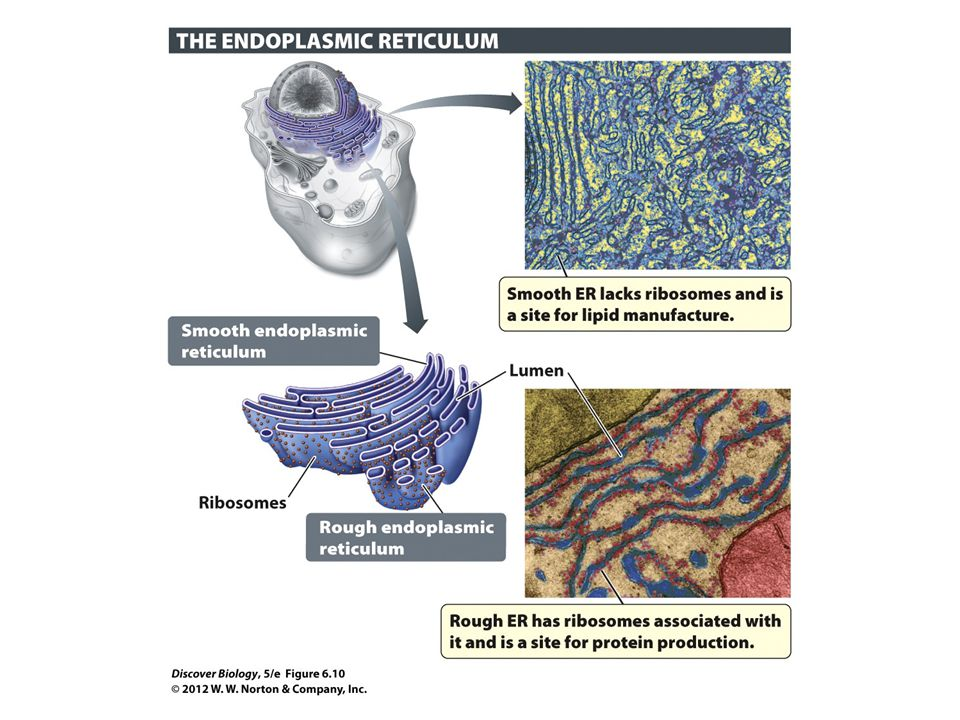 Figure 6.10 Some Types of Lipids and Proteins Are Made in the Endoplasmic Reticulum