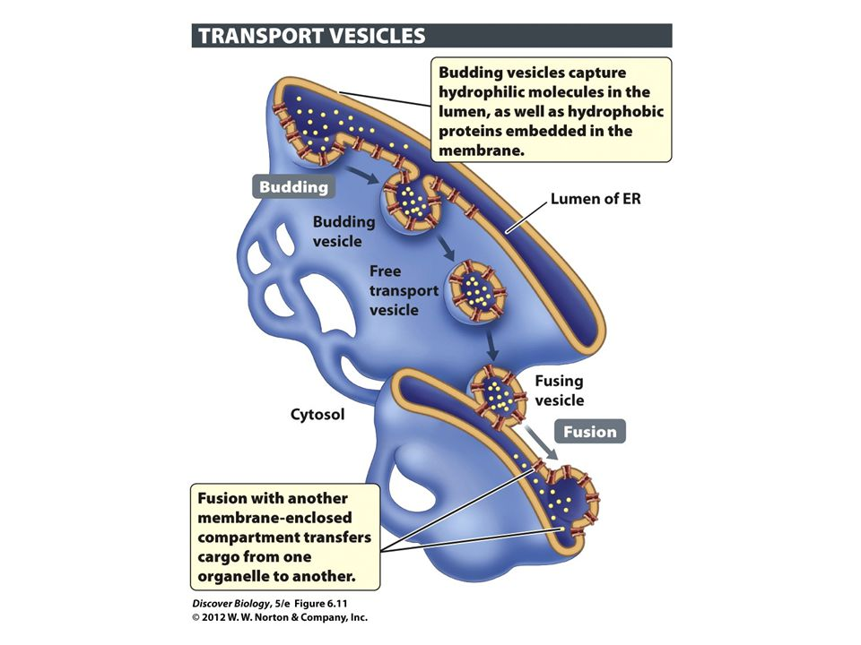 Figure 6.11 Cellular Materials Are Dispatched to a Wide Variety of Destinations via Vesicles