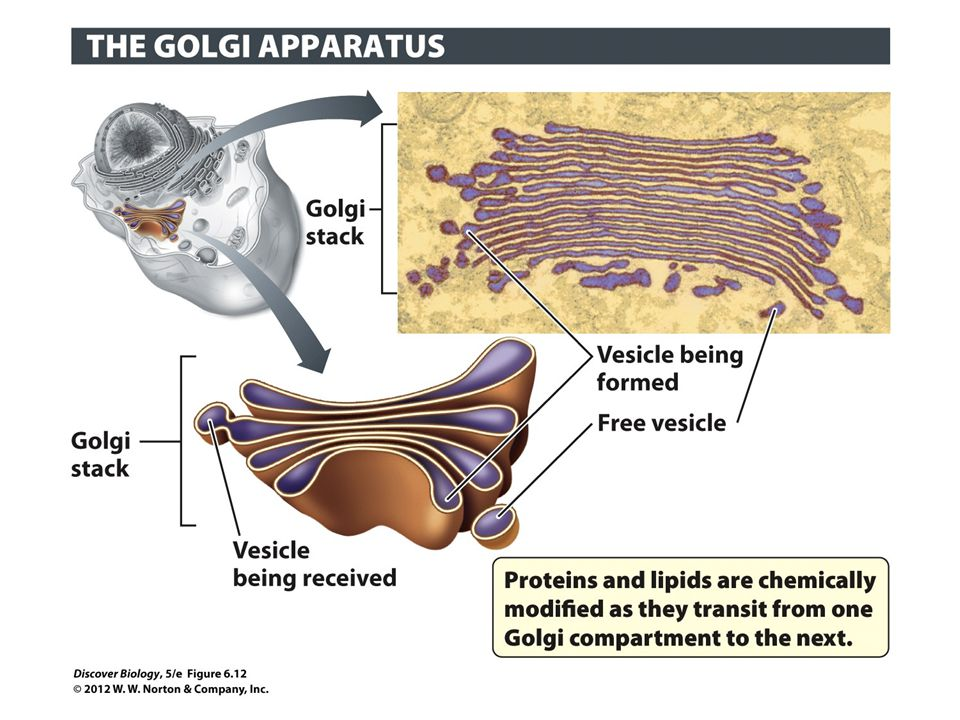Figure 6.12 The Golgi Apparatus Routes Proteins and Lipids to Their Final Destinations