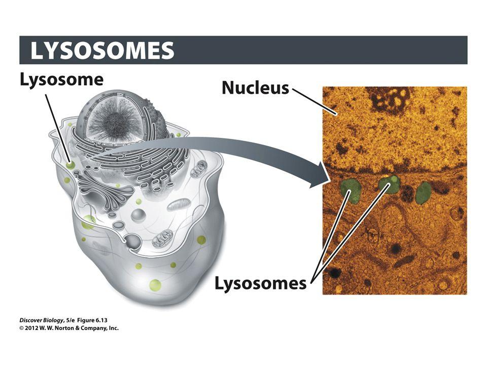 Figure 6.13 Lysosomes Degrade Macromolecules