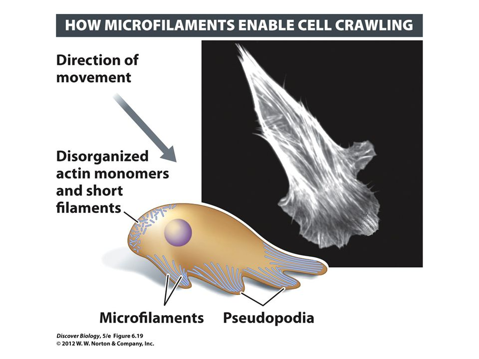 Figure 6.19 Microfilaments Drive Some Types of Whole Cell Movement