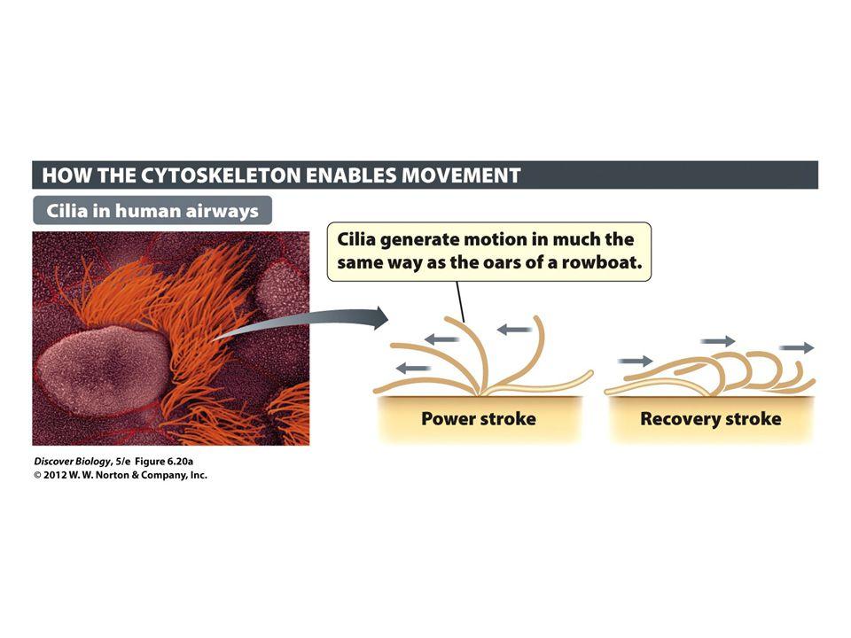 Figure 6.20 Cilia and Flagella Generate Movement