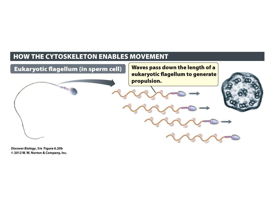 Figure 6.20b Cilia and Flagella Generate Movement