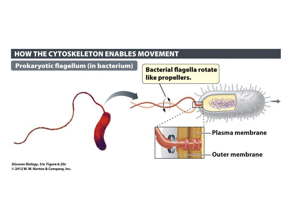 Figure 6.20c Cilia and Flagella Generate Movement