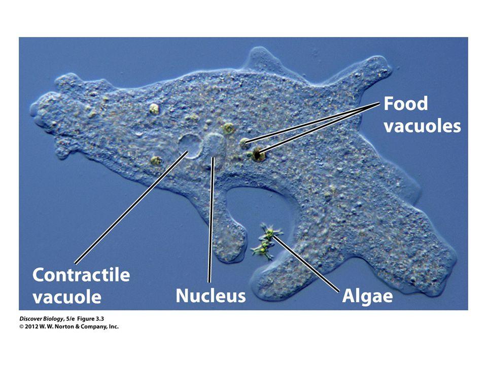 Figure 3.3 An Amoeba Digesting Its Prey