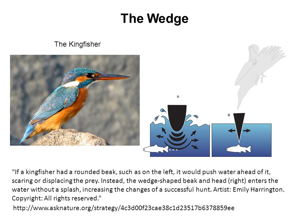 The Wedge The Kingfisher