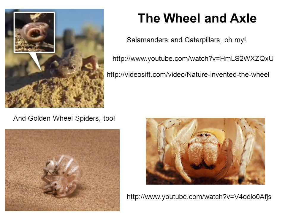 The Wheel and Axle Salamanders and Caterpillars, oh my!