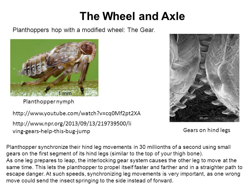 The Wheel and Axle Planthoppers hop with a modified wheel: The Gear.