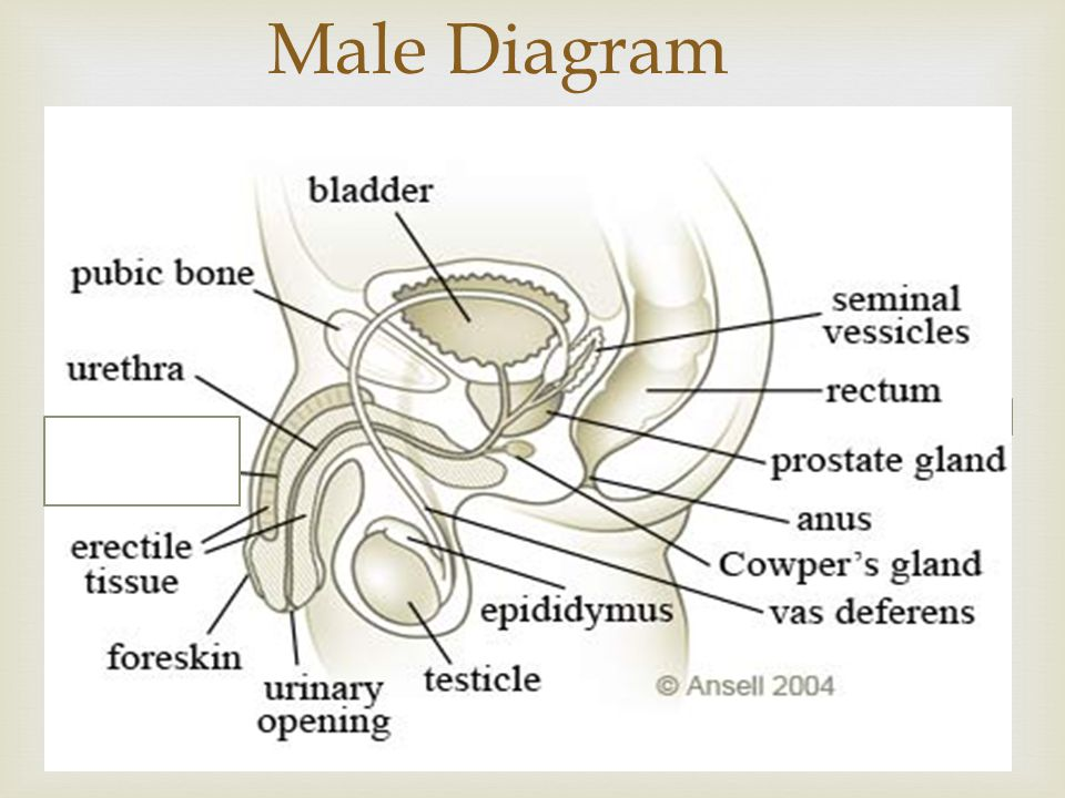 Male Diagram