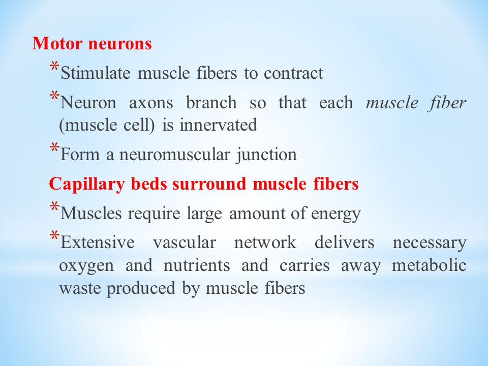 Motor neurons Stimulate muscle fibers to contract. Neuron axons branch so that each muscle fiber (muscle cell) is innervated.