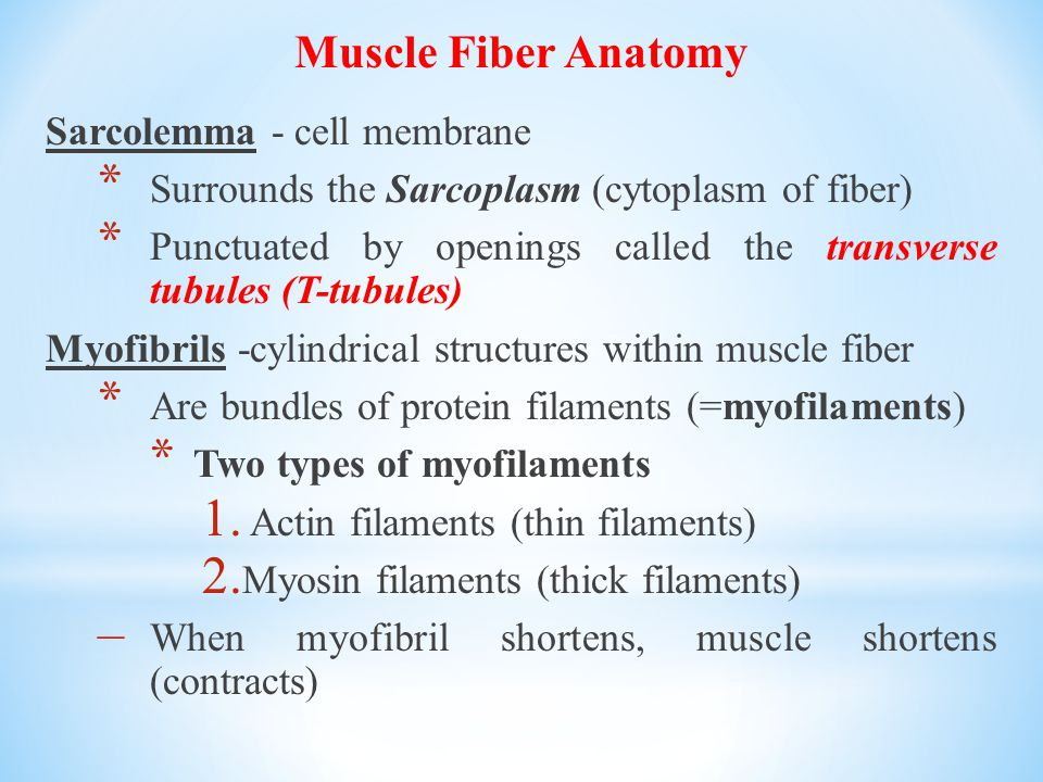 Muscle Fiber Anatomy Sarcolemma - cell membrane