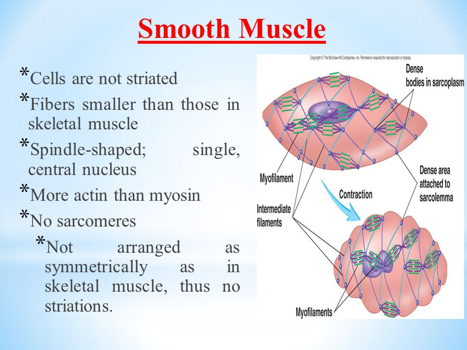 Smooth Muscle Cells are not striated