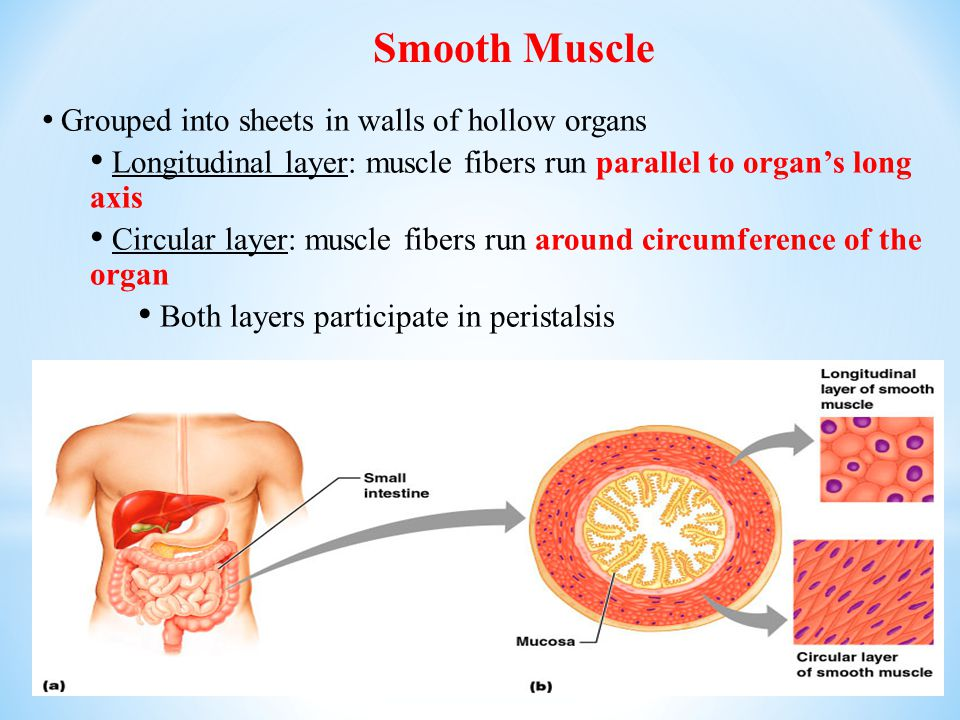 Smooth Muscle Grouped into sheets in walls of hollow organs. Longitudinal layer: muscle fibers run parallel to organ's long axis.