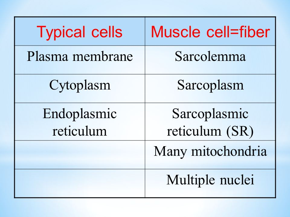Typical cells Muscle cell=fiber Plasma membrane Sarcolemma Cytoplasm