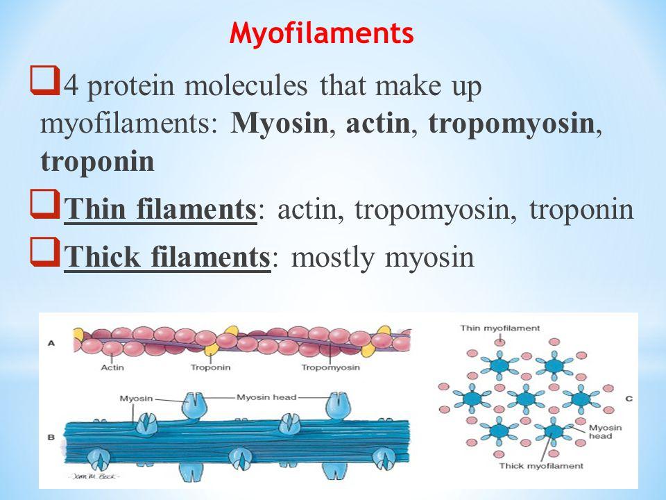 Thin filaments: actin, tropomyosin, troponin