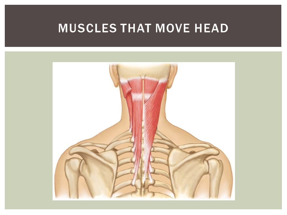Muscles that move head