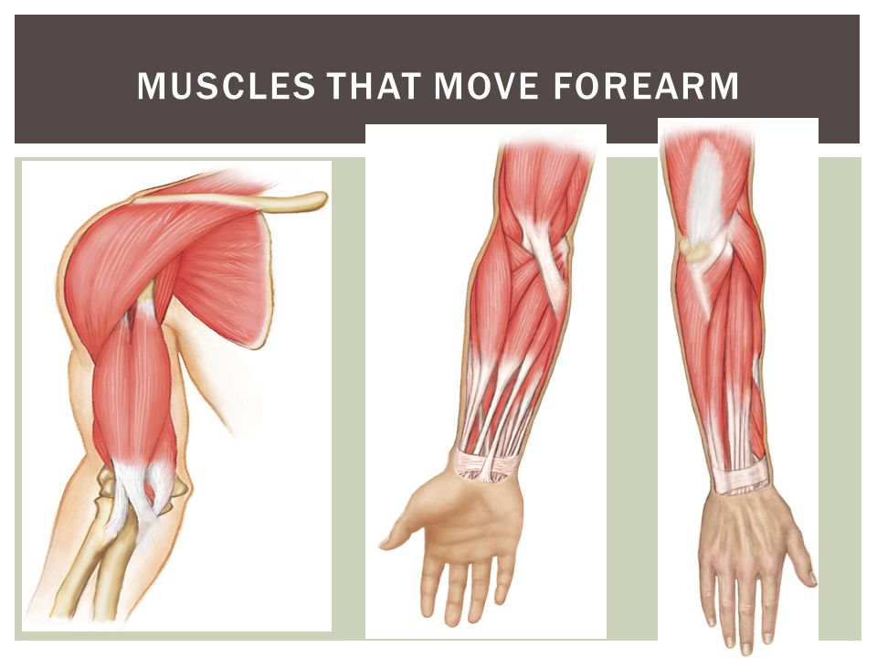 Muscles that Move Forearm