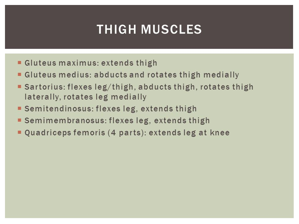 Thigh Muscles Gluteus maximus: extends thigh