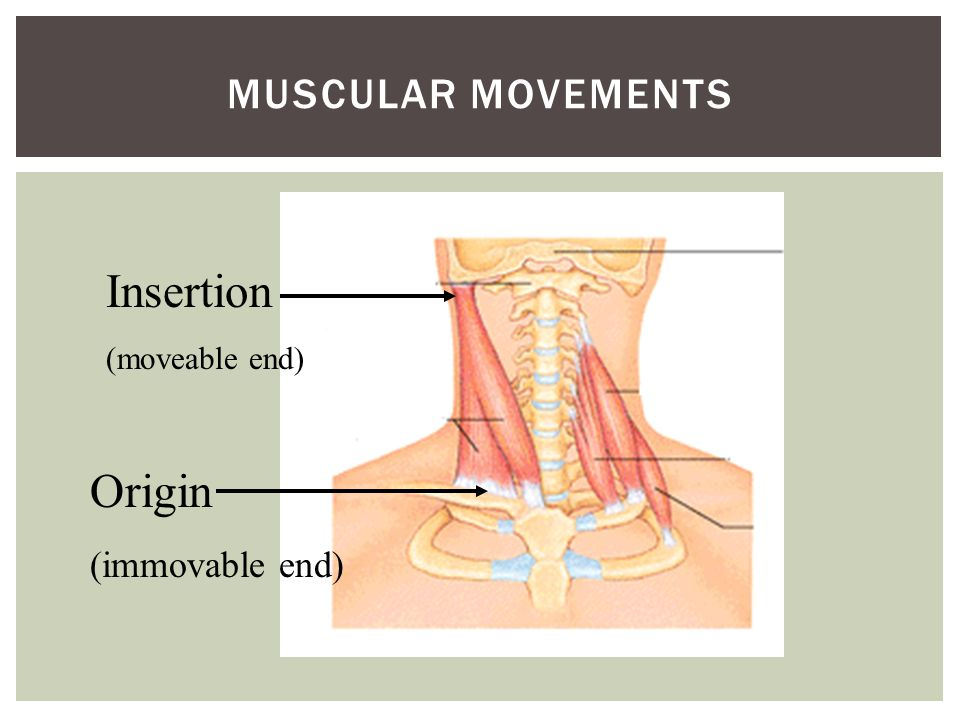Muscular movements Insertion (moveable end) Origin (immovable end)
