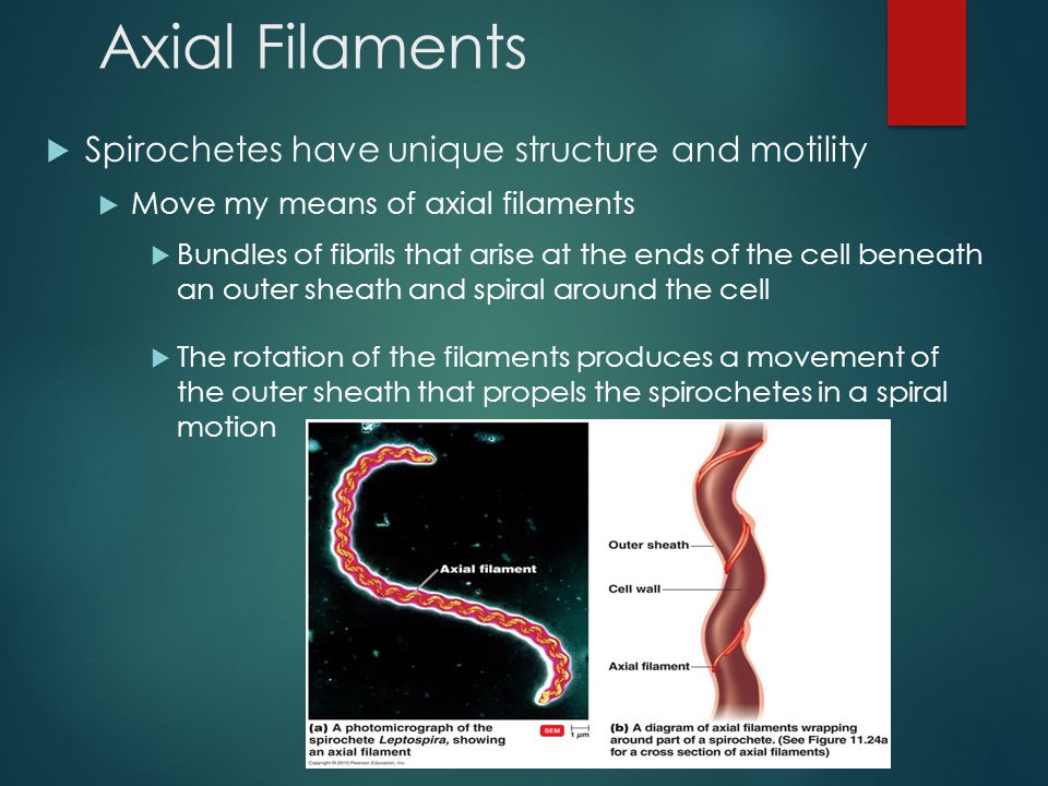 Axial Filaments Spirochetes have unique structure and motility