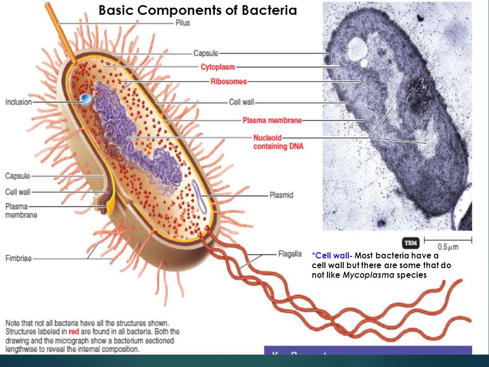 Basic Components of Bacteria