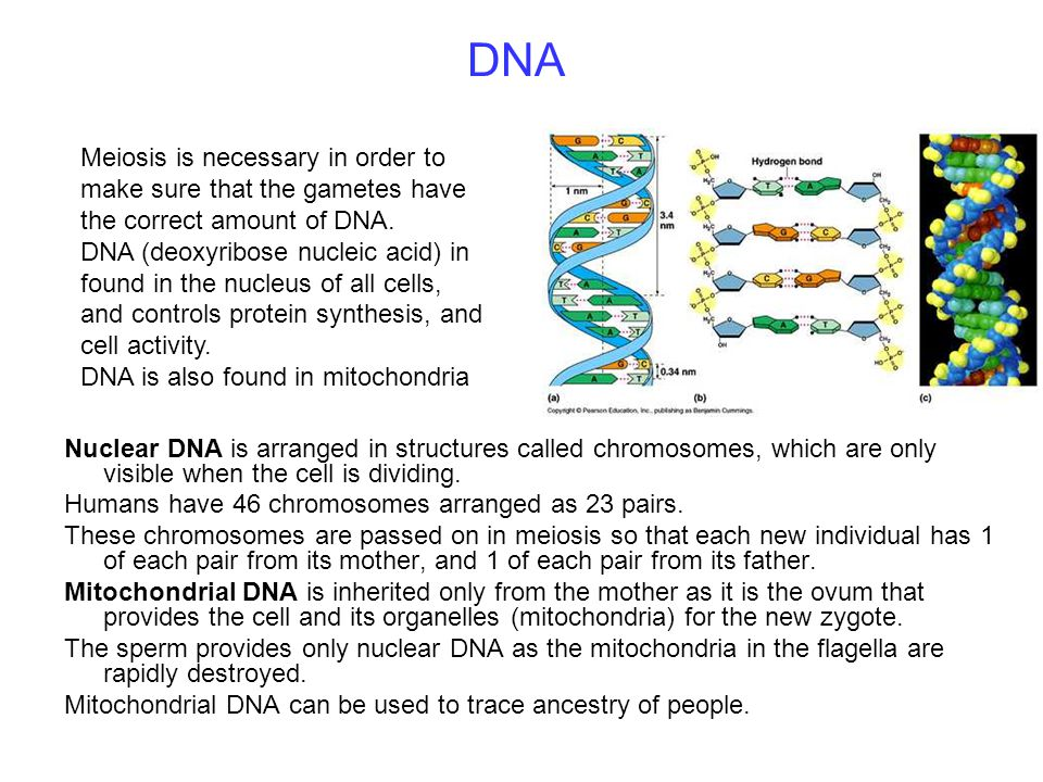 DNA Meiosis is necessary in order to make sure that the gametes have the correct amount of DNA.