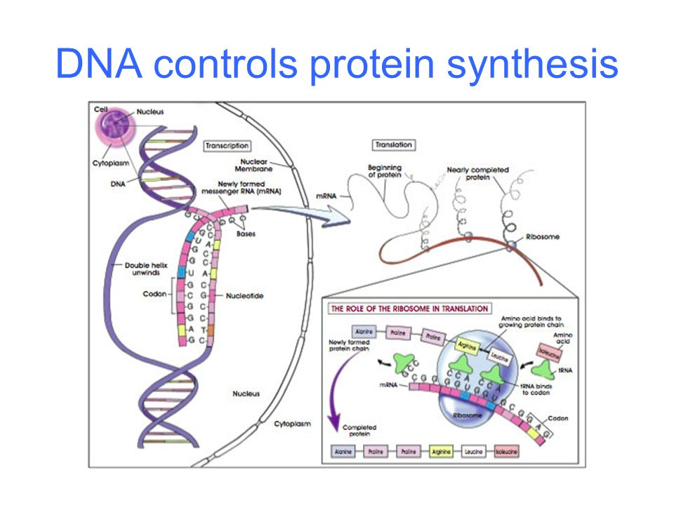 DNA controls protein synthesis