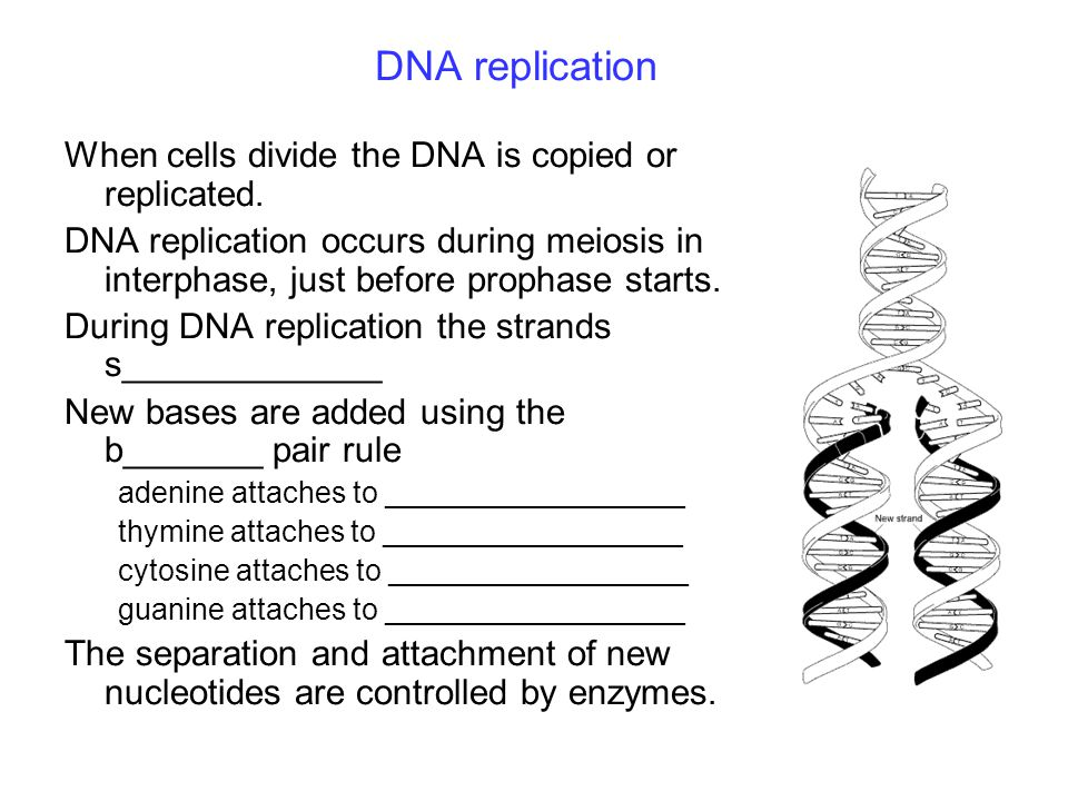 DNA replication When cells divide the DNA is copied or replicated.