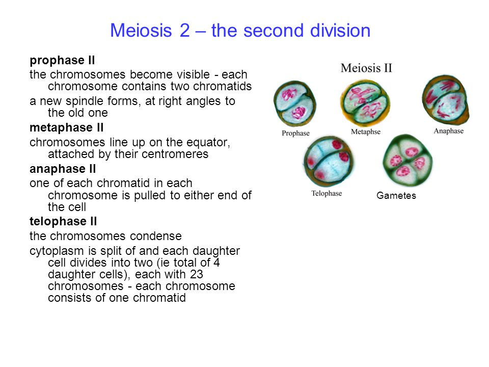Meiosis 2 – the second division