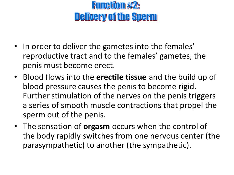 Function #2: Delivery of the Sperm
