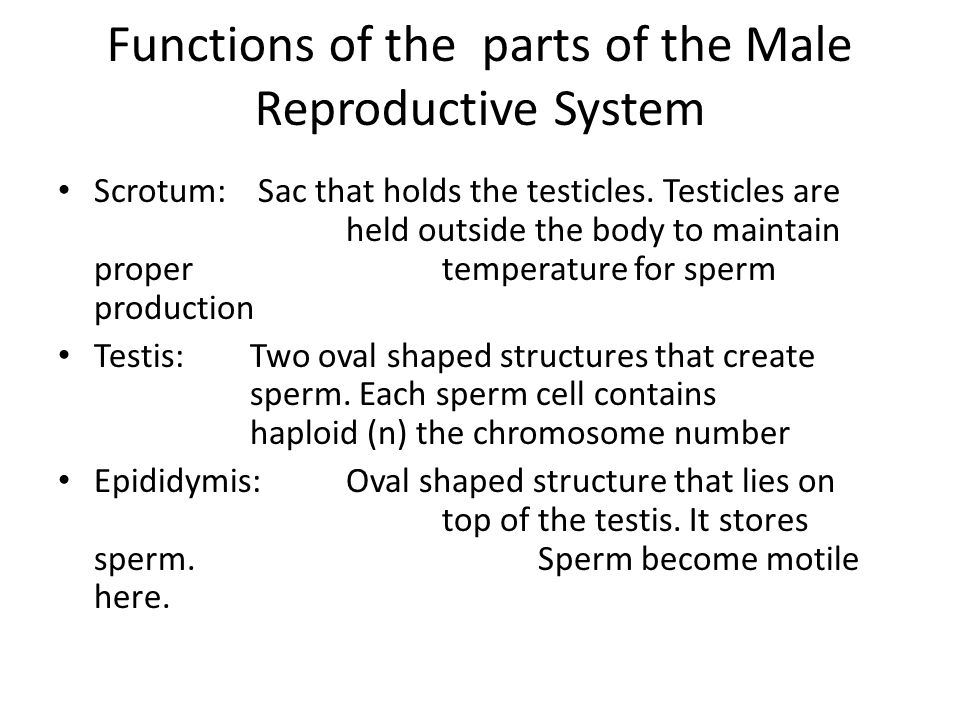 Functions of the parts of the Male Reproductive System
