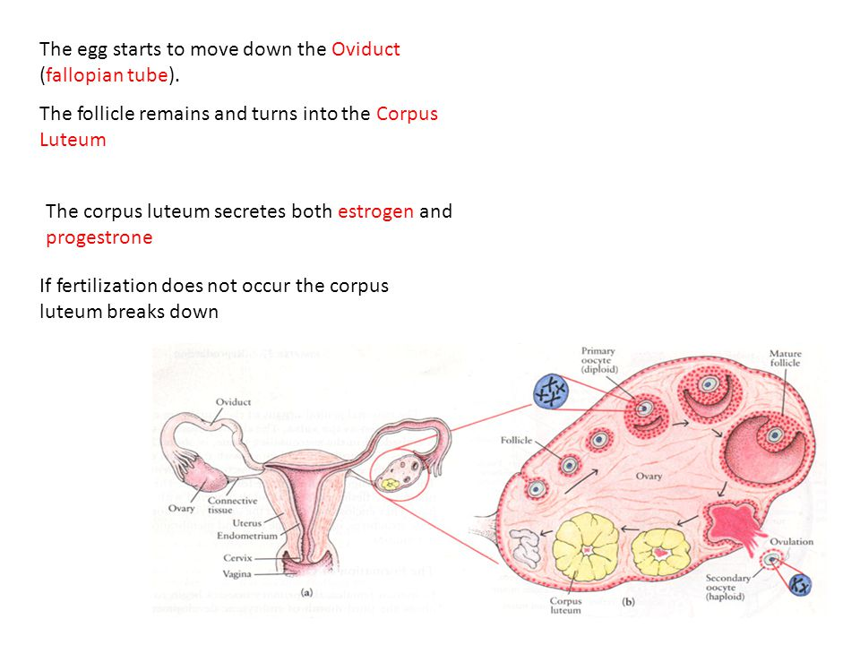 The egg starts to move down the Oviduct (fallopian tube).