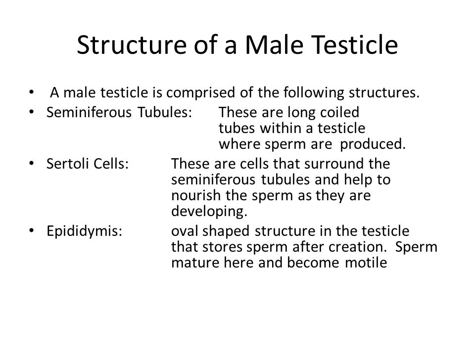 Structure of a Male Testicle