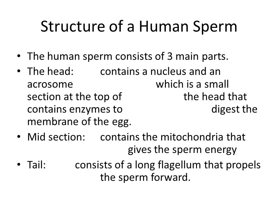 Structure of a Human Sperm