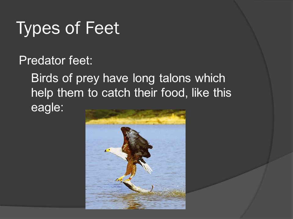 Types of Feet Predator feet: Birds of prey have long talons which help them to catch their food, like this eagle: