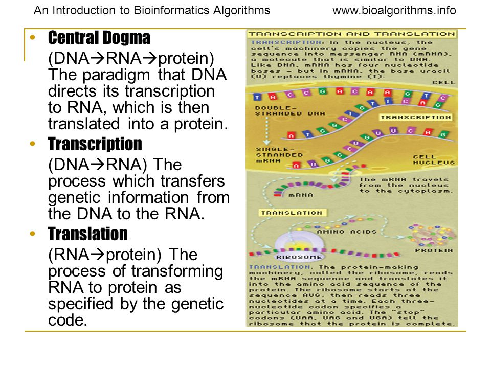 Central Dogma (DNARNAprotein) The paradigm that DNA directs its transcription to RNA, which is then translated into a protein.